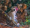 Mother monkey with child.jpg