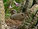 Mourning Dove in saguaro 2