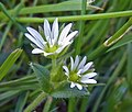 Mouse-ear Chickweed (49195216547).jpg