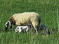 Moutons à Olloix.jpg