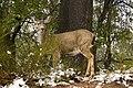 Mule Deer (3769582511).jpg