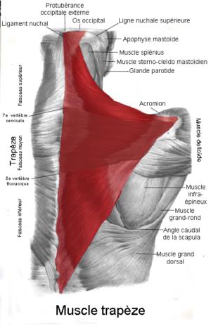 Trapezius muscle - Image: Muscle trapèze