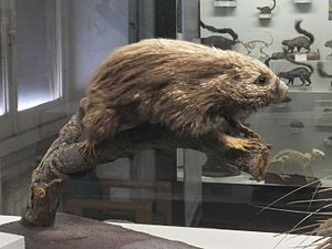Paraguaian hairy dwarf porcupine - Taxidermized specimen at the Museo Civico di Storia Naturale di Genova