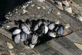 Mussels In Cornwall UK.jpg