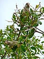 Myiopsitta monachus -Florida -two in tree-8b.jpg