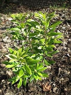 <i>Myrica californica</i> species of plant