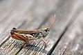 Myrmeleotettix maculatus male (2603314931).jpg