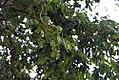 Myroxylon balsamum 3zz.jpg