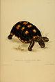 N38 Sowerby & Lear 1872 (chelonoidis carbonaria).jpg