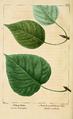 NAS-098 Populus balsamifera.png