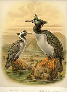 NZ Shags.jpg
