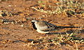 Namaqua dove, Oena capensis, at Mapungubwe National Park, Limpopo, South Africa (18089217755).jpg