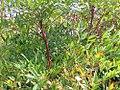 Nandina domestica Plum Passion 0zz.jpg