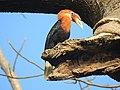 Narcondam Hornbill male.jpg