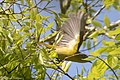 Nashville Warbler (male) Sabine Woods TX 2018-04-22 09-13-35 (41991966481).jpg