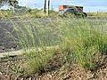Nassella neesiana plant3 (7185612791).jpg