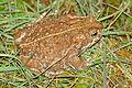 Natterjack Toad (Epidalea calamita) female (16779432866).jpg