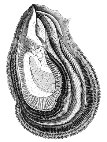 Natural History - Mollusca - Oyster.png