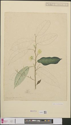 Naturalis Biodiversity Center - L.2096486 - Coelostegia sumatrana Beccari - Artwork.jpeg