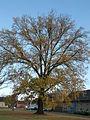 Naturdenkmal- Stieleiche im Herbst , Schmellwitzer Str. in Cottbus.JPG