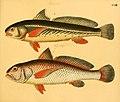 Naturgeschichte in Bildern mit erläuterndem Text (Taf. CVIII) (6059224490).jpg