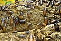 Naturkundemuseum Ostbayern - Madagaskar-Riesenschabe.JPG