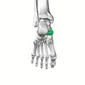 Navicular bone14.png