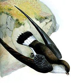 Neafrapus cassini.jpg