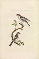 Nederlandsche vogelen (KB) - Lanius senator (468b).jpg