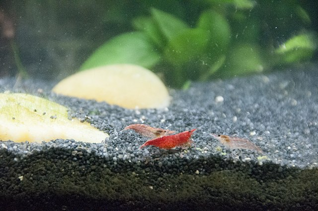 Cherry Shrimp Tank Mates