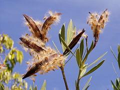 Nerium oleander seeds.jpg