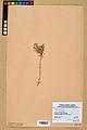 Neuchâtel Herbarium - Alyssum alyssoides - NEU000021939.jpg
