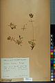 Neuchâtel Herbarium - Anthyllis cherleri - NEU000034024.jpg