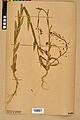 Neuchâtel Herbarium - Camelina microcarpa - NEU000022975.jpg