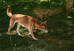New Guinea Singing Dog on trail.jpg