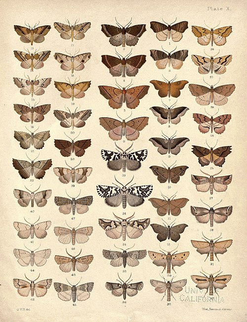 New Zealand Moths and Butterflies (1898) 10.jpg
