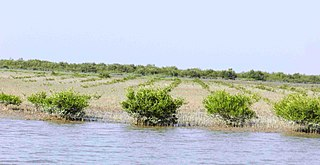 Newly planted mangroves