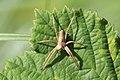Nieuw Leeuwenhorst - Kraamwebspin (Pisaura mirabilis).jpg