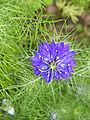 Nigella damascena1.jpg