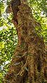 Nikhil More bamboo pit viper bhimashankar.jpg