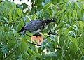 Noisy Friar Bird aka Leatherhead (39011664750).jpg