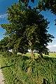 Noordoostpolder - Schokland - Ruïnepad - View NE on Elm Tree - Iep.jpg