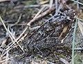 Noordwijk - Heivlinder (Hipparchia semele) v2.jpg