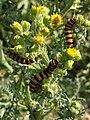 Noordwijk - Sint-jacobsvlinder (Tyria jacobaeae) - rupsen.jpg