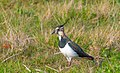 Northern Lapwing @ South Holland . (49781612702).jpg