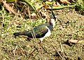 Northern Lapwing Vanellus vanellus Deepor Beel by Dr. Raju Kasambe 2 (2).jpg