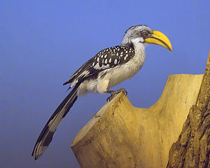 Eastern yellow-billed hornbill - Image: Northern Yellow billed Hornbill