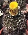 Notocactus mammulosus.jpg