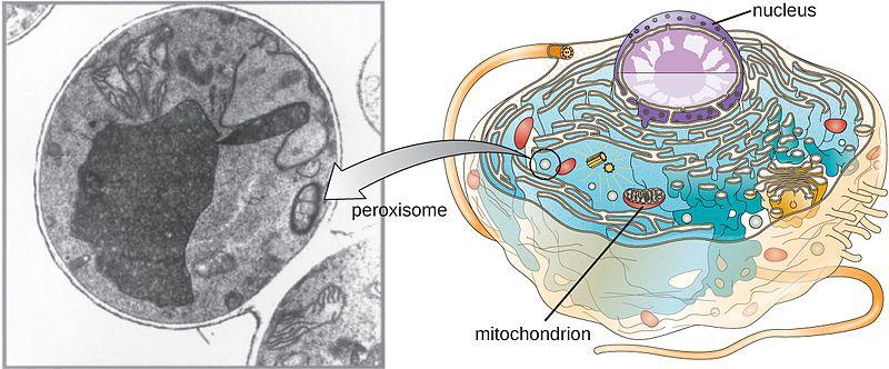 Badan Mikro Peroksisom