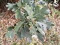 Oak Leaves in Reepham Road - geograph.org.uk - 1522926.jpg